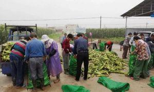 松滋这个村种出了水果玉米